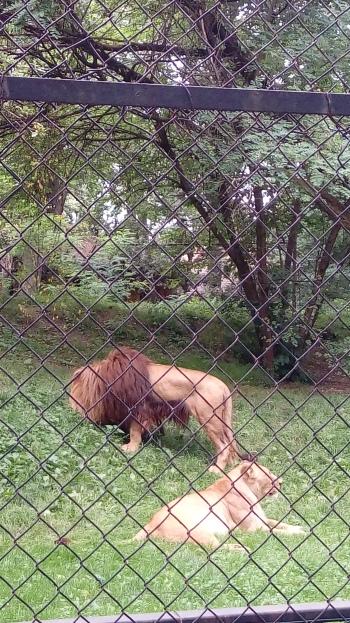 האריות ממש קרובים